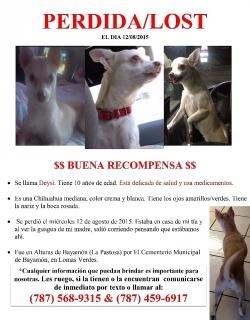 Chihuahua PERDIDA en Bayamón