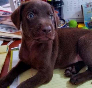 Labradores chocolate y negros