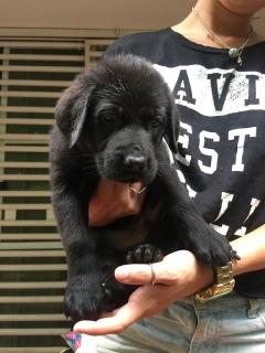Labradores + Pastor Aleman (German Shepherd)  = Shepradors para la venta