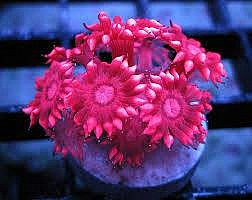 Red Multicolor Blastomussa Wellsi Coral
