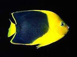 Calarion Angelfish