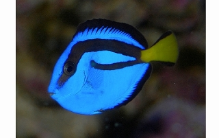 Regal Blue Tang Fish
