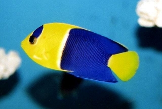 Bicolor Angel Fish
