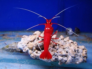 Variedad en Cleaner Shrimps en The Reef & Pet Shop