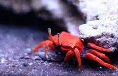 Hermit Crab Species for Saltwater Tanks