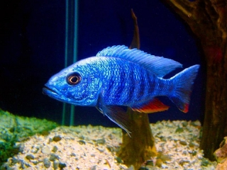 Electric Blue Ahly Cichlid