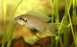 Lamprologus Brichardi Cichlid
