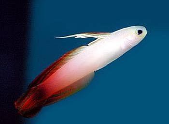 Variedad en Firefish Goby