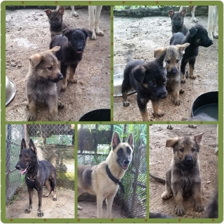 Hermosos German Shepherd