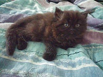 Vendo precioso peludito Gatito Black Persian