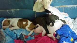 Se venden pitbull . Red nose blue machos y una nena blue /white
