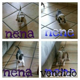 pitbull blue puppy