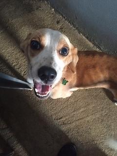 Beagle Mix Encontrado en 65 de Infanteria Carolina
