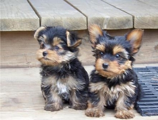 We have two little Yorkie puppies available!
