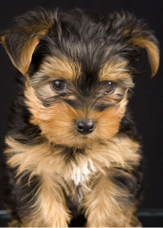 Two Top Class Yorkie terrier Puppies  for Adoption ,