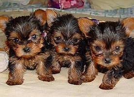 Tea Cup Yorkie terrier Puppies available