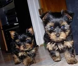 T-cup Yorkie Puppies Available for Adoption
