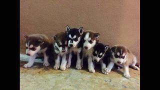 Venta de cachorros Syberian Husky