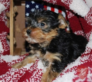 Yorkie Pups 12Weeks old, First Shot