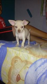 Perrita Chihuahua