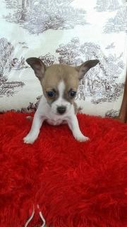 Hermoso  Chihuahua  Toy  Macho