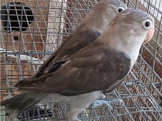 VENTA DE LOVEBIRDS Y COKATIELES Y PALOMAS BLANCAS