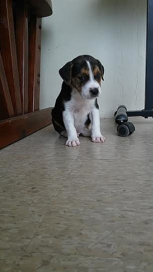 Se regala puppy macho