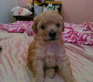 Se Vende Poodle Toy Macho