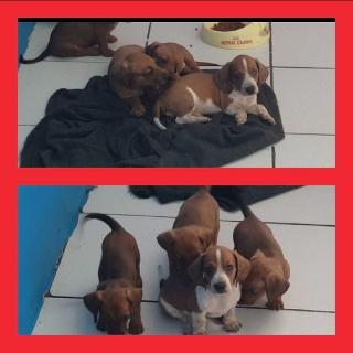 Venta de puppies dachshund. Perro salchichas
