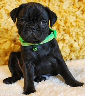 CUTIE PUG Puppies  now available for rehoming