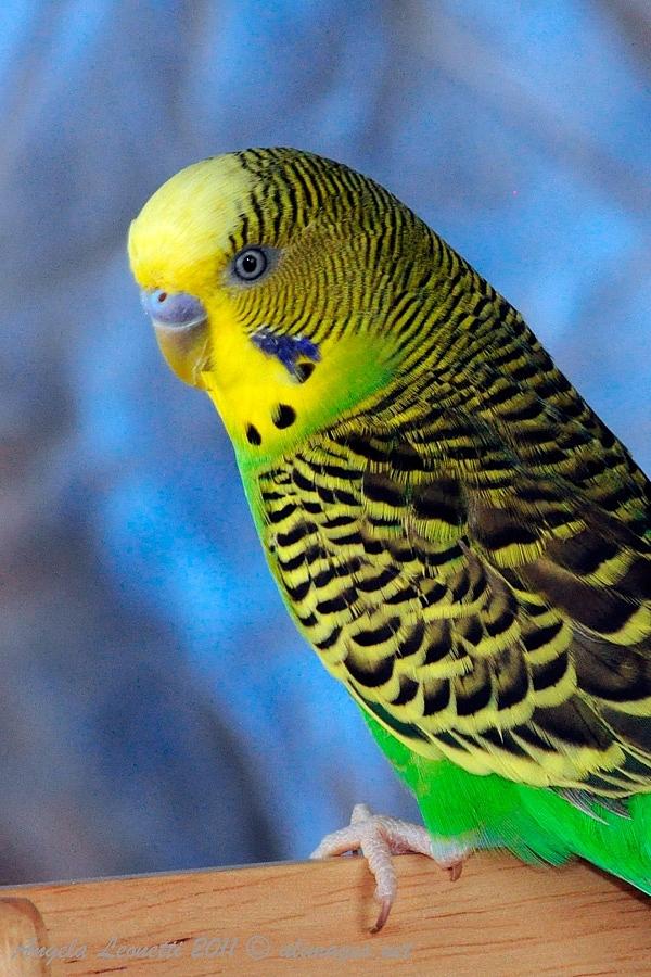 Pure Australian Parakeets