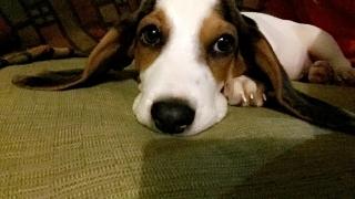 Basse hound