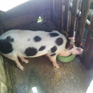 cerdo macho de 70 libras joven