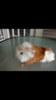 venta de Guinea pigs