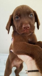 Se venden labradores chocolates puppies