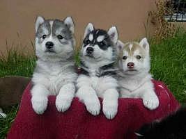 Siberian Husky Puppies Avilable