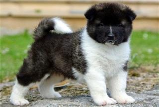 Akita cachorros hembra listos para casas buenas vacunados y masculinos.