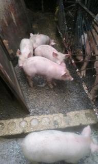 Cerdos destetados