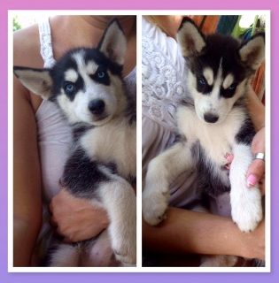 Hermosos Huskies