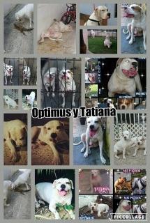 2 American Bulldogs para adopción hembra y macho
