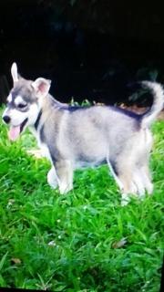 Hermoso Siberian Husky a $175
