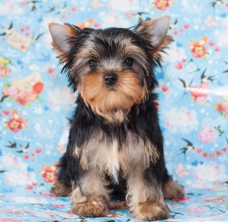 adopcion un yorkshire terrier hembra