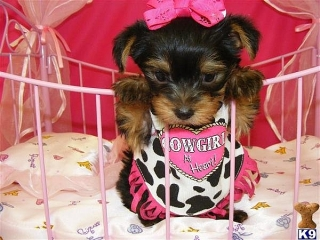 Lovely Face Yorkie Puppies