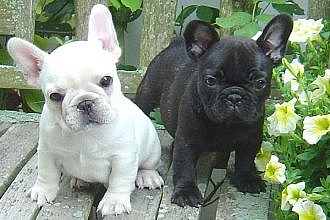french bull dog Puppies for adoption