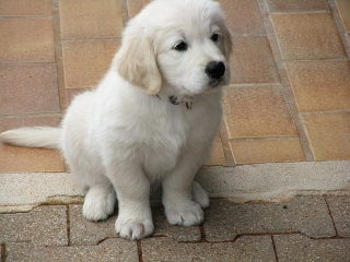 Lovely Golden Retriever Puppies Avilable