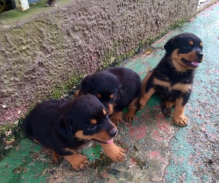 """Venta Rottwailers """"puppies"""""""