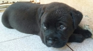 Hermosas perritas Rottweiler/Pitbull para adopción