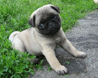 Adorable  Pug puppies for adoption to  a caring home only.