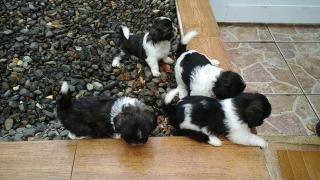 Hermosos perritos Shiht-zus