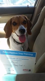 Hazel, Beagle, 2 Años